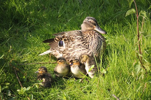Mother duck with ducklings in natural environment